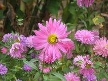 El Astra en el macizo de flores Imagenes de archivo