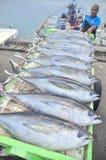 El atún se está cargando encendido para acarrear a la fábrica de los mariscos Imagen de archivo libre de regalías