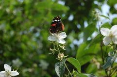 El atalanta de Vanesa de la mariposa en una flor de salvaje subió Imagen de archivo