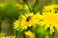 El aterrizaje de la abeja en el diente de león amarillo Imagen de archivo