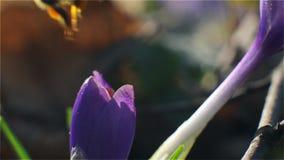 El aterrizaje de la abeja en una flor púrpura y poliniza recogiendo el polen y el néctar almacen de video