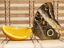 el atreus gigante Amarillo-afilado de Caligo de la mariposa del búho alimenta en naranja en la capa de la paja imagen de archivo libre de regalías