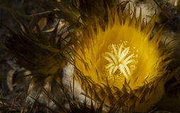 El aturdir cerca encima de la floración del cactus de barril Fotos de archivo