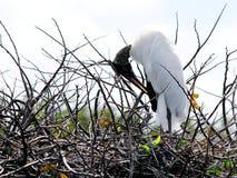 El atusarse blanco de la cigüeña de madera Foto de archivo libre de regalías
