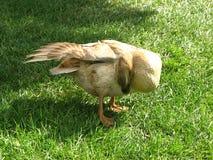 El atusarse del pato Foto de archivo libre de regalías