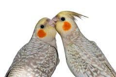 El atusarse mutuo de los Cockatiels Imagenes de archivo