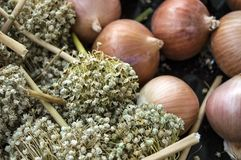 El aumento en los precios de cebollas secas, aumento excesivo en los precios de cebollas secas, Imagenes de archivo