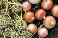 El aumento en los precios de cebollas secas, aumento excesivo en los precios de cebollas secas, Foto de archivo libre de regalías