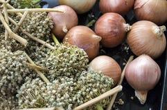 El aumento en los precios de cebollas secas, aumento excesivo en los precios de cebollas secas, Fotos de archivo