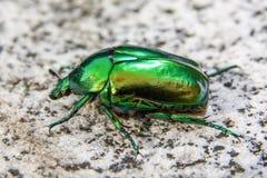 El aurata del Cetonia, llamó el abejorro color de rosa o el abejorro color de rosa verde, es un escarabajo, 20 milímetros de larg imagen de archivo