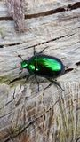 El aurata del Cetonia, llamado el abejorro color de rosa o el abejorro color de rosa verde, es un escarabajo Foto de archivo