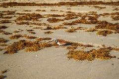 El ave marina busca la comida en el sargasso que está en la orilla de la playa fotografía de archivo