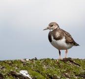 El ave zancuda, Turnstone, se encaramó en una defensa de mar foto de archivo libre de regalías