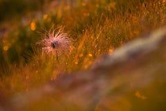 El avens alpino da fruto en la luz del sol de la mañana con descensos de la superficie, de la hierba y de rocío de la roca Foto de archivo