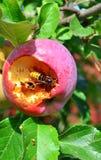 El avispón come la manzana Imagen de archivo libre de regalías