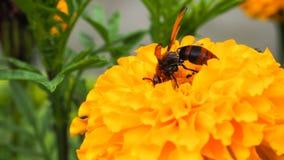 El avispón come su comida en la flor amarilla Foto de archivo