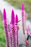 El avispón en la púrpura de las crestas de gallo de la pluma florece argentea del celosia Imagen de archivo libre de regalías