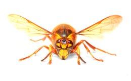 El avispón europeo (crabro del Vespa) Imagen de archivo libre de regalías