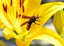El avispón grande de la abeja se sienta en una flor amarilla del lirio Foto de archivo libre de regalías