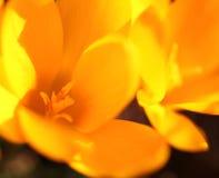 El azafrán amarilla florece el primer Foto de archivo
