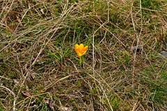 El azafrán del amarillo de la primavera Imagen de archivo