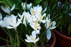 El azafrán hermosa de la primavera florece en un pote de arcilla Imagen de archivo libre de regalías