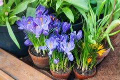 El azafrán hermosa de la primavera florece en un pote de arcilla Foto de archivo