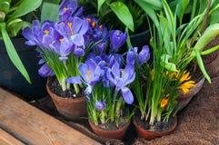 El azafrán hermosa de la primavera florece en un pote de arcilla Imagen de archivo