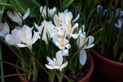 El azafrán hermosa de la primavera florece en un pote de arcilla Imágenes de archivo libres de regalías