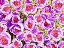 El azafrán hermosa florece el ackground Imagen de archivo libre de regalías