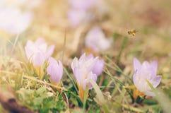 El azafrán hermosa florece el flor en primavera Foto de archivo