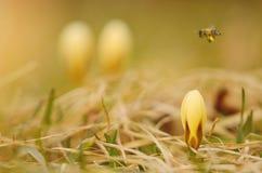 El azafrán hermoso florece el flor en primavera Fotos de archivo libres de regalías
