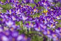 El azafrán púrpura florece con la abeja en el fondo, Londres, Reino Unido Fotografía de archivo libre de regalías