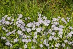 El azul cielo observa los wildflowers del menziesii de Nemophila, California fotos de archivo libres de regalías