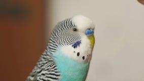 El azul del periquito da vuelta a su cabeza almacen de video