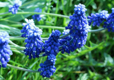 El azul florece el Muscari Foto de archivo