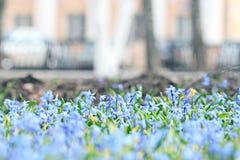 El azul florece macro negra del fondo imagenes de archivo