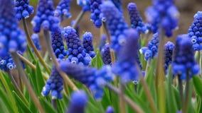 El azul florece el Muscari