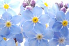 El azul me olvida no flor Foto de archivo libre de regalías