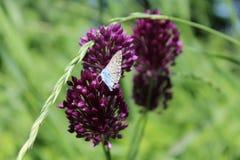El azul púrpura del verde de hierba de la flor de mariposa se va volando el insecto del foco del calor del verano Fotografía de archivo