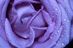 El azul se levantó Imagen de archivo libre de regalías