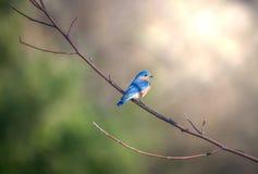 El azulejo se encaramó en una rama de árbol en la luz del sol Imagen de archivo