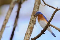 El azulejo septentrional joven muy brillante se encaramó en una rama que hacía frente a L Fotos de archivo