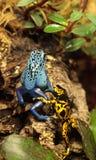 El azureus azul del tinctorius de Dendrobates de la rana del dardo del veneno y manosea Fotos de archivo libres de regalías
