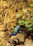 El azureus azul del tinctorius de Dendrobates de la rana del dardo del veneno y manosea Fotos de archivo
