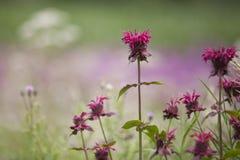 El bálsamo de abeja florece Monarda Fotografía de archivo
