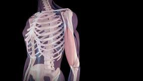 El bíceps humano