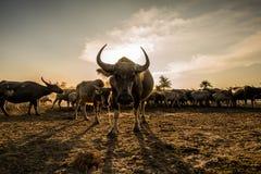 El búfalo Imagen de archivo libre de regalías