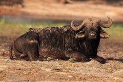 El búfalo africano o búfalo del cabo, un fango cubierto de mentira del toro grande Imagen de archivo