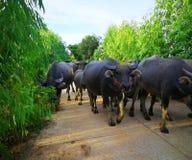 El búfalo caminó en el camino por la tarde imagen de archivo